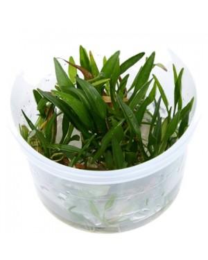 Planta Echinodorus tenellus Green in vitro, planta tapizante acuario