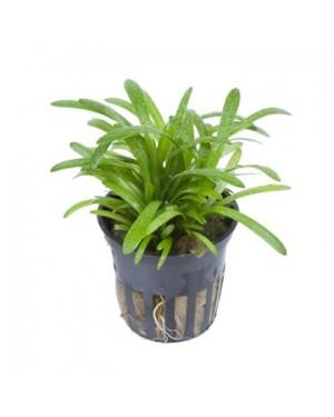 Sagittaria subulata en maceta, planta tapizante acuario