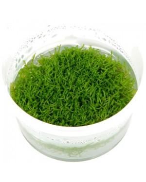 Planta Riccia fluitans in vitro, planta tapizante acuario