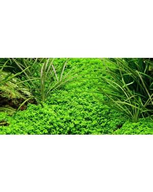 Planta Hemianthus callitrichoides Cuba