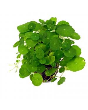 Hydrocotyle verticillata in vitro planta tapizante acuario