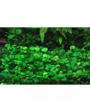 Marsilea hirsuta in vitro, planta tapizante acuario