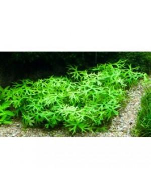 Ranunculus inundatus en maceta, planta tapizante acuario