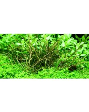 Echinodorus Tenellus en maceta,planta tapizante acuario
