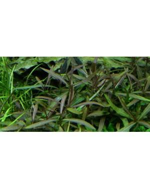 Planta Hygrophila Araguaia