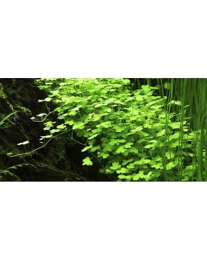 Hydrocotyle Tripartita Japan en maceta, planta tapizante acuario