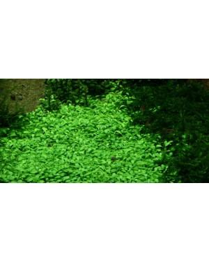 Glossostigma Elatinoides en maceta planta tapizante acuario