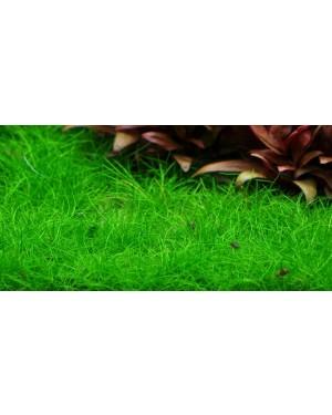 Eleocharis acicularis SP Mini in vitro, planta tapizante acuario