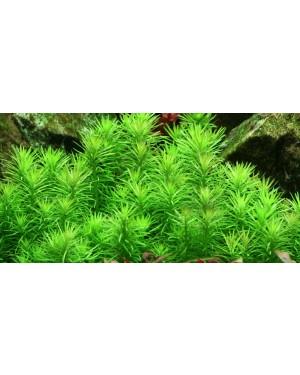 Planta Pogostemon erectus