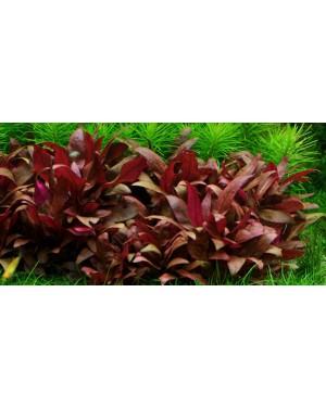 Planta Alternanthera reineckii Mini