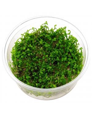 Marsilea crenata in vitro, planta tapizante acuario