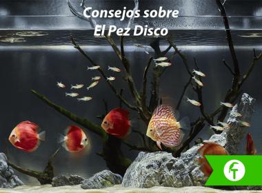El pez disco