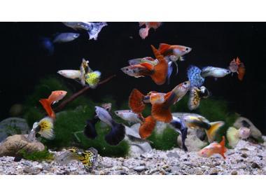 ¿Qué sabes del pez guppy?