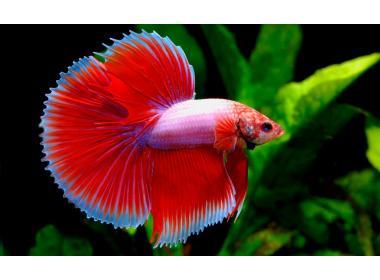 El pez betta