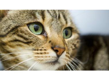Sentido de la vista del gato