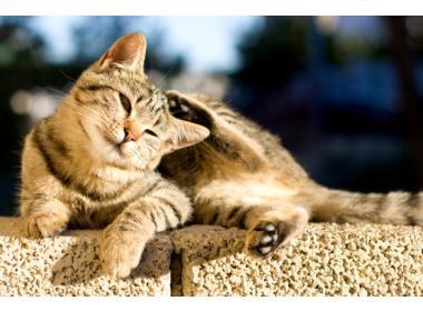 Gatos alérgicos al gluten