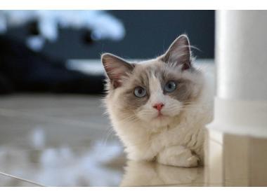 Características de la raza de gatos ragdoll