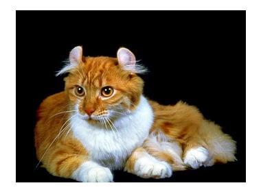 Gato Curl Americano