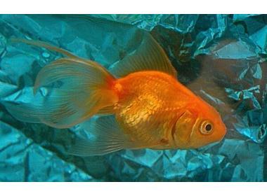 Características del pez dorado