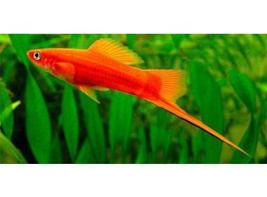 Xiphos peces para acuarios