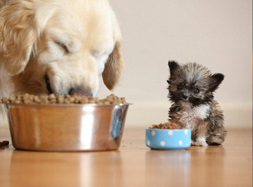Curiosidades de los perros pequeños