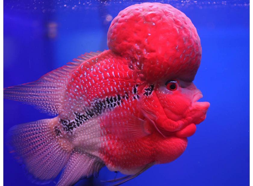 Blog las especies de peces m s raras tropican mascotas for Especies de peces