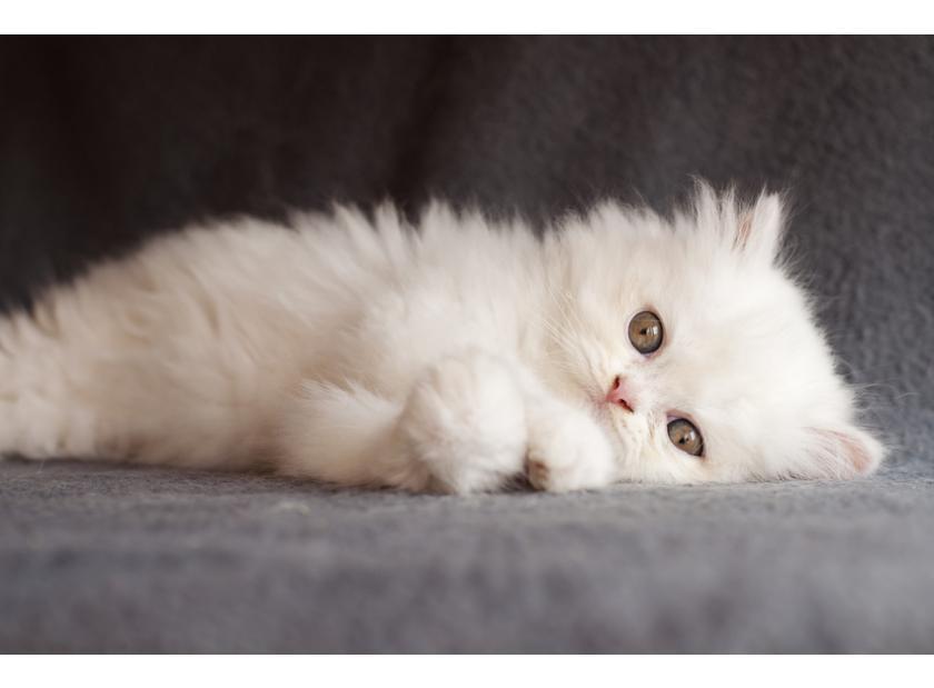 Los gatos persas