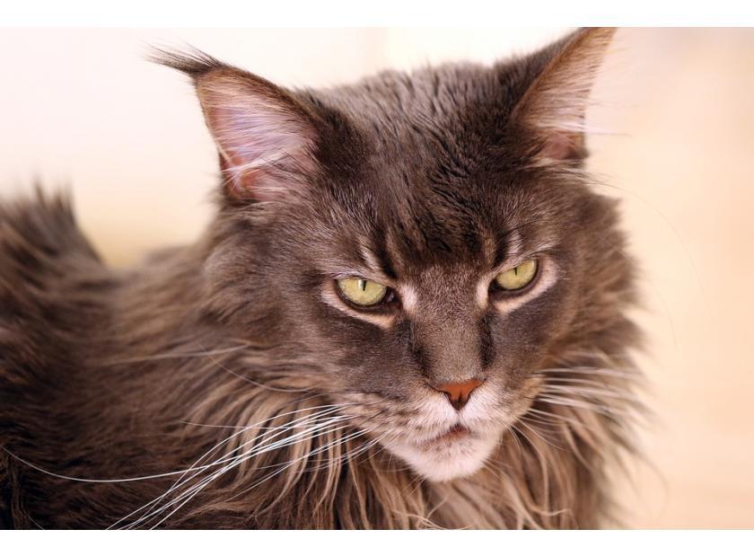 Características de los gatos Maine Coon