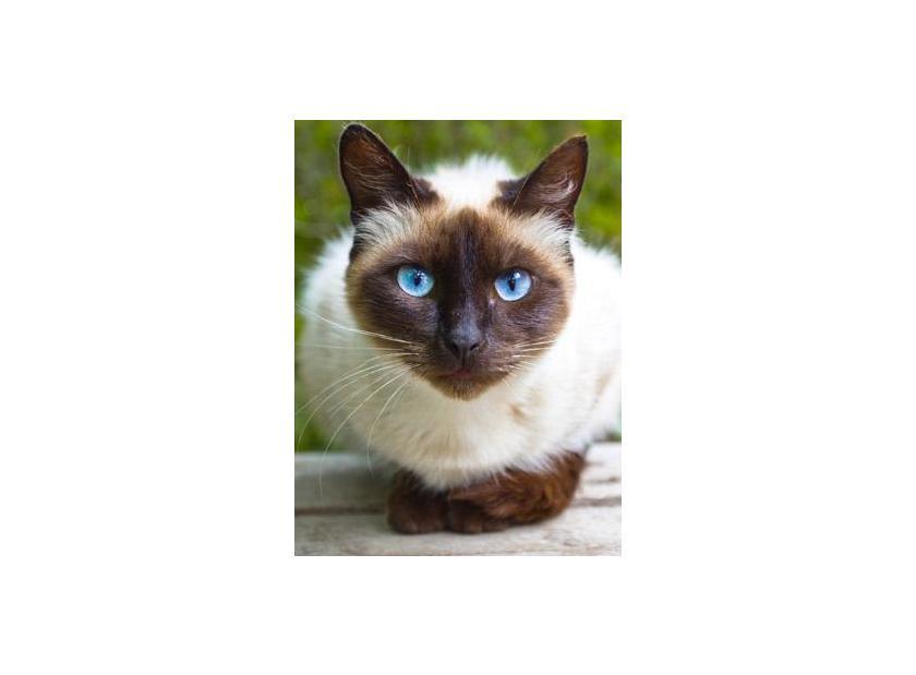 Características del gato siamés