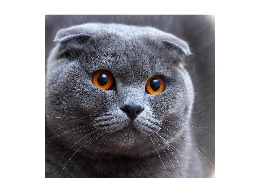 Características del gato Scottish Fold