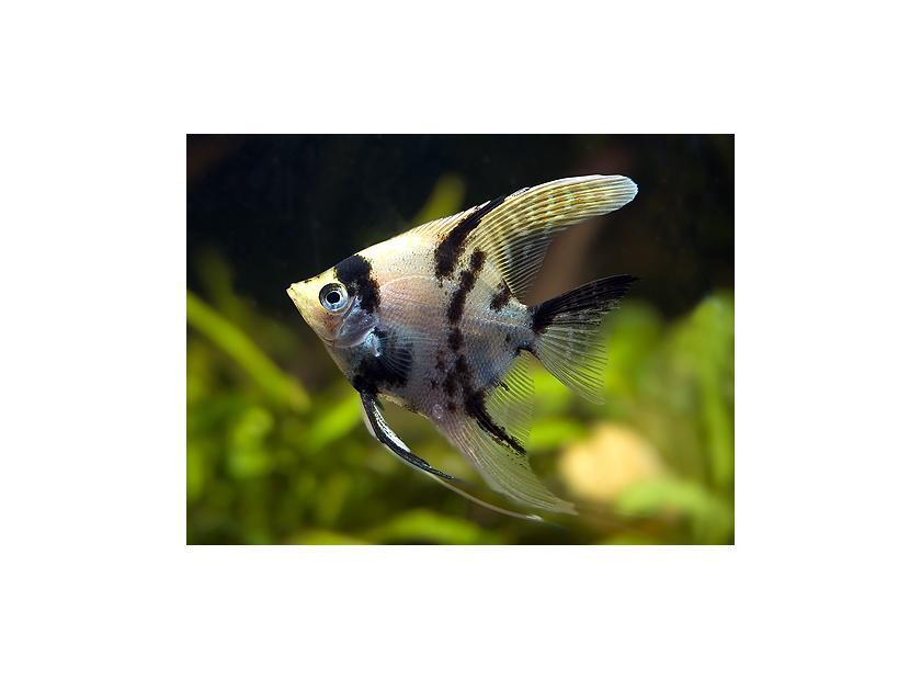 Características del pez ángel