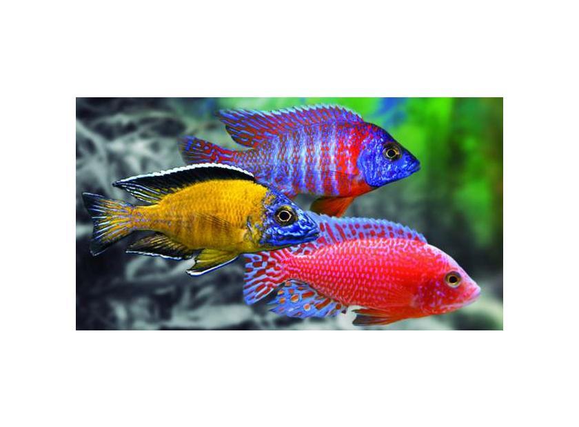 Aulonocaras peces para acuarios