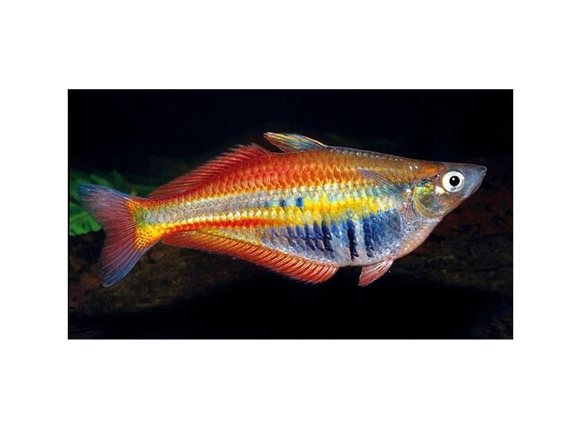 Pez Arco Iris peces para acuarios