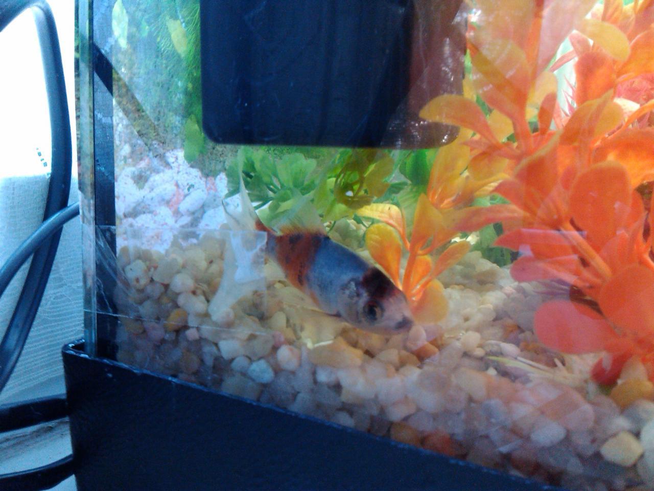 Blog los peces duermen tropican mascotas for Peces de agua fria de colores