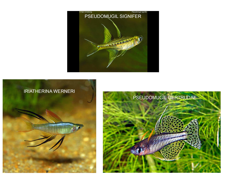 peces australianos