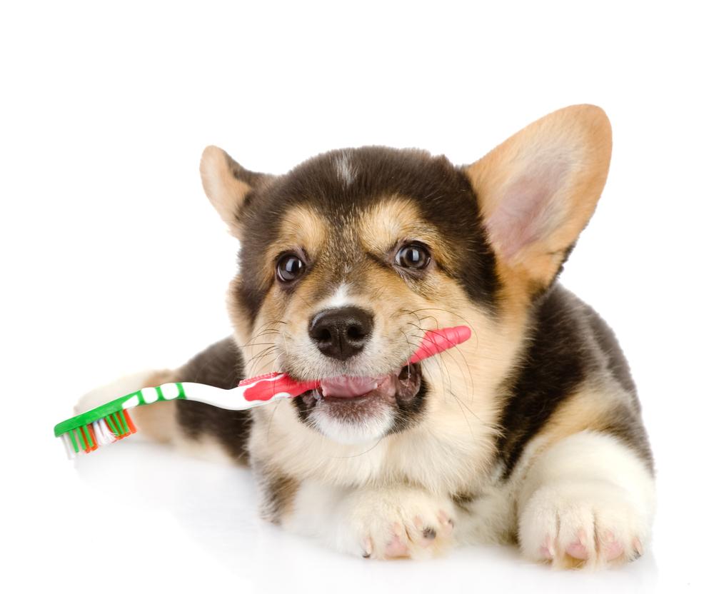 La limpieza dental de perros