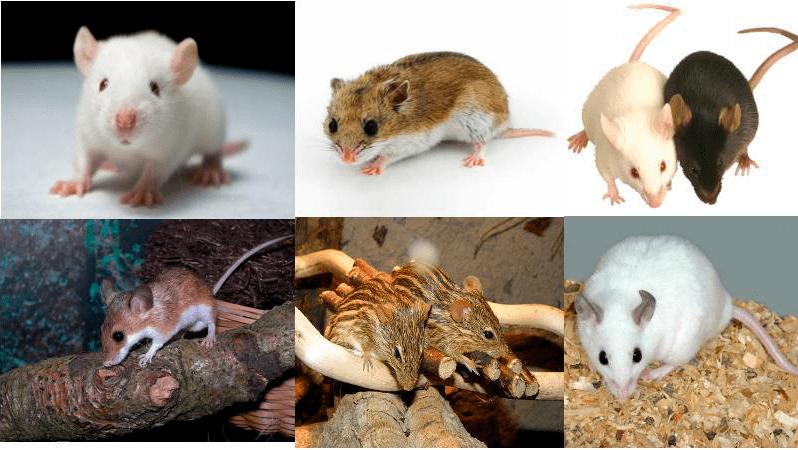 tipos-de-roedores